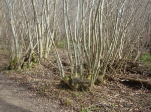 coppice regrowth 7 years